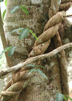 b. caapi ayahuasca vine